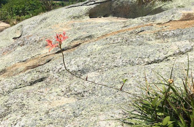 Flor na pedra