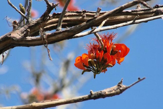 Flor do Mulungu